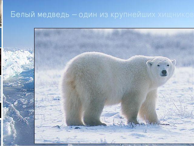 Белый медведь – один из крупнейших хищников