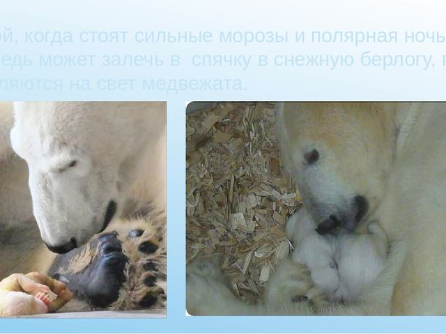 Зимой, когда стоят сильные морозы и полярная ночь, медведь может залечь в сп...