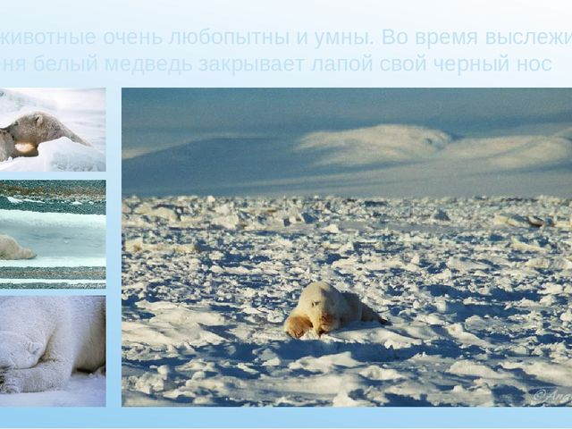 Эти животные очень любопытны и умны. Во время выслеживания тюленя белый медве...