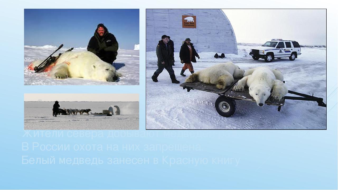 Жители севера добывают медведей ради шкур и мяса. В России охота на них запре...