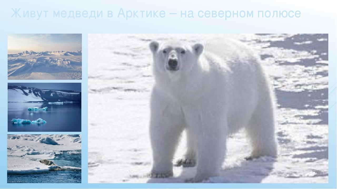Живут медведи в Арктике – на северном полюсе