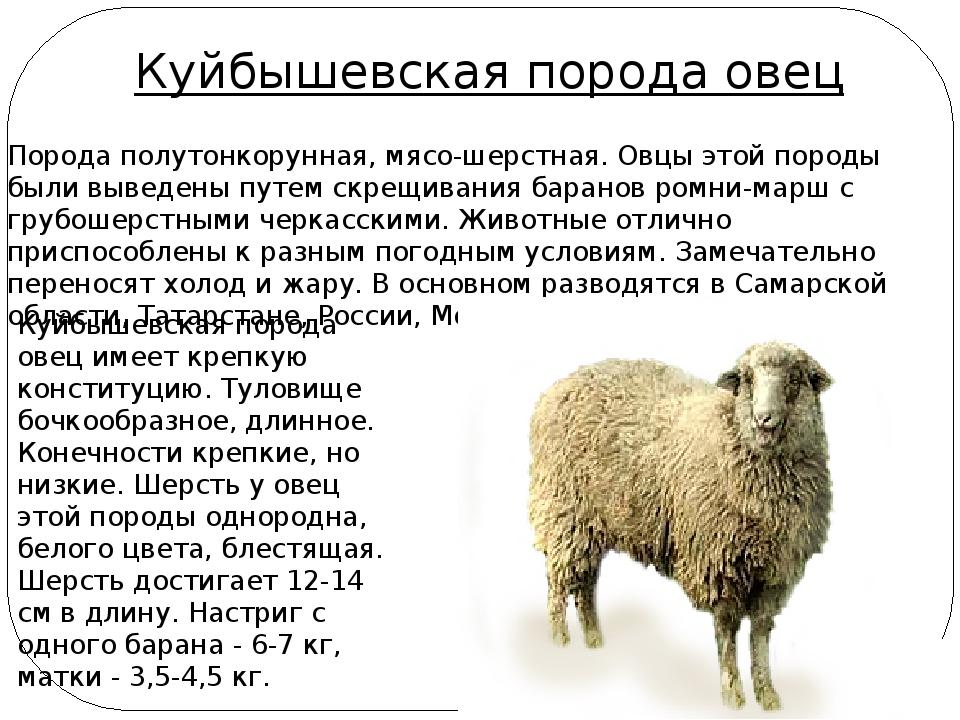 Таким образом на свет появилась эдильбаевская овца — животное, способное одновременно наращивать курдючное сало, и давать изрядное количество шерсти.