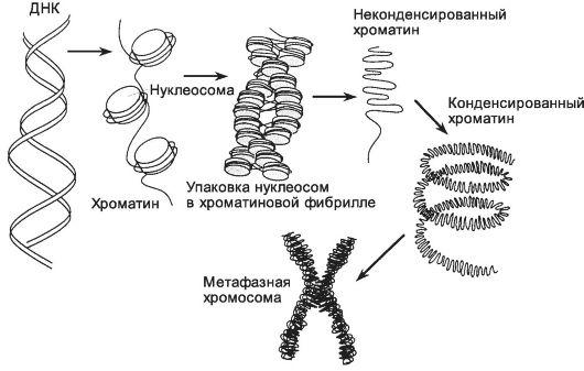 нуклеосомное строение хромосомы картинка
