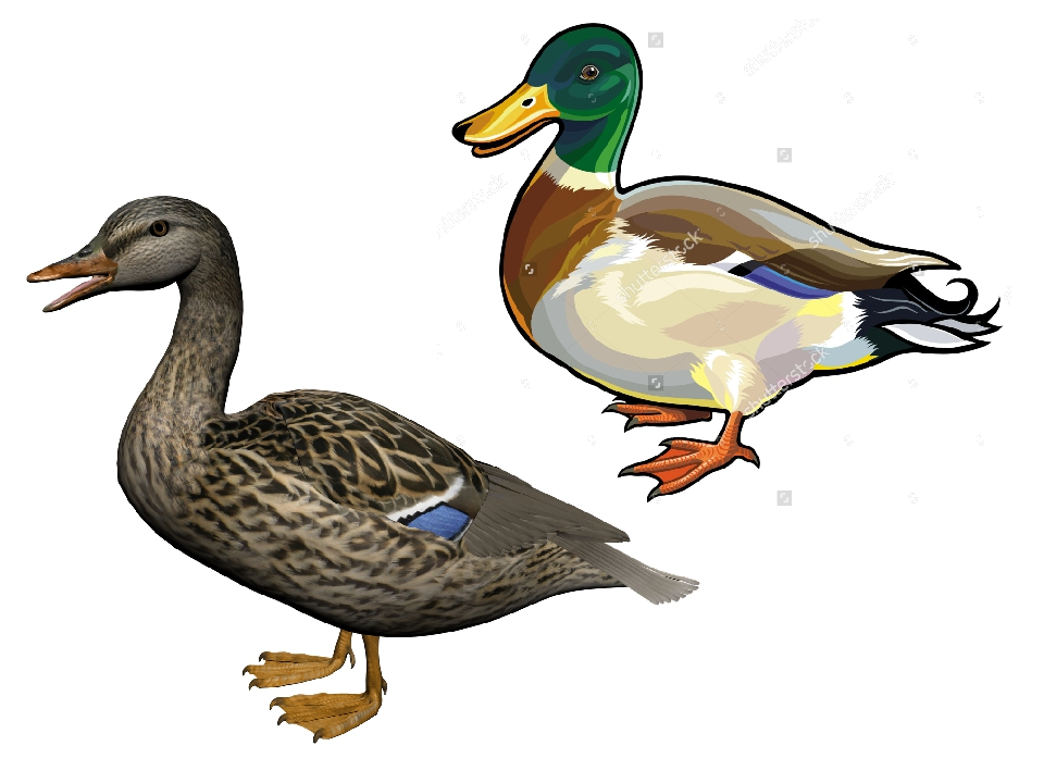 Картинка утки для детей