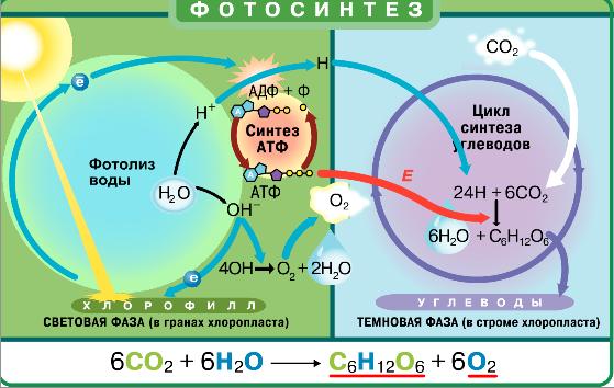 Фотосинтез кратко конспект