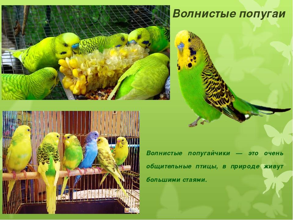 Имена попугаев девочек волнистых список