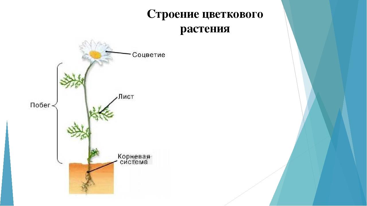 электрик внешнее строение растения картинки могут быть одни