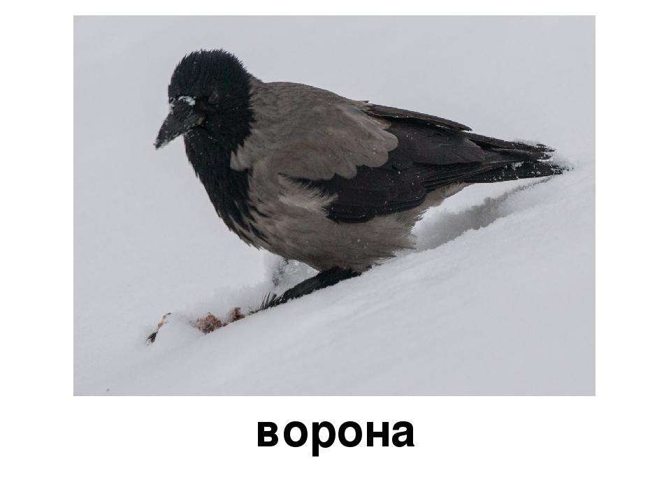 картинки вороны воробья голубя дятла синицы снегиря
