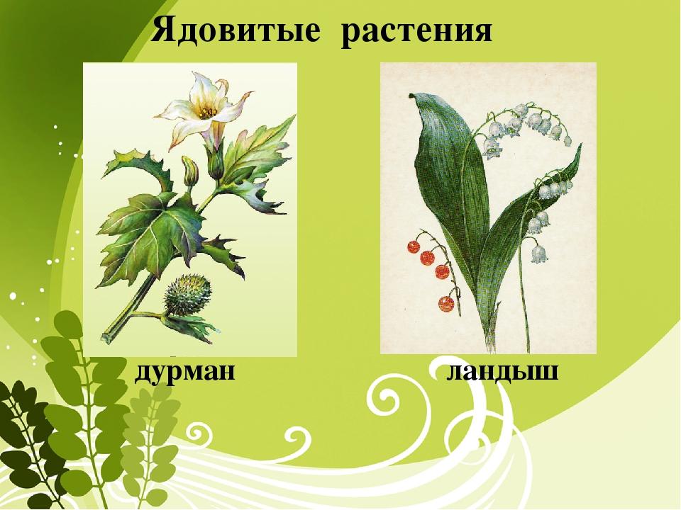 Ядовитые растения и название и описание для детей 34