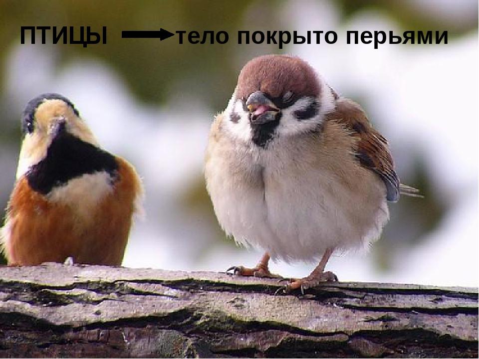 ПТИЦЫ тело покрыто перьями