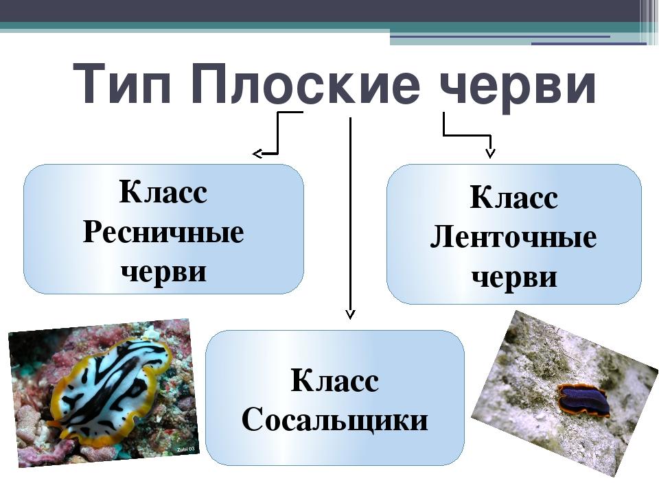 Тип Плоские черви Класс Ресничные черви Класс Ленточные черви Класс Сосальщики