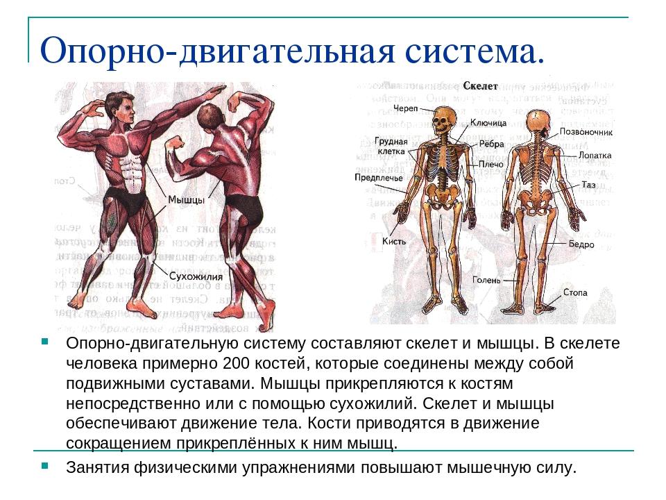 физические на как упражнения опорно систему влияют двигательную