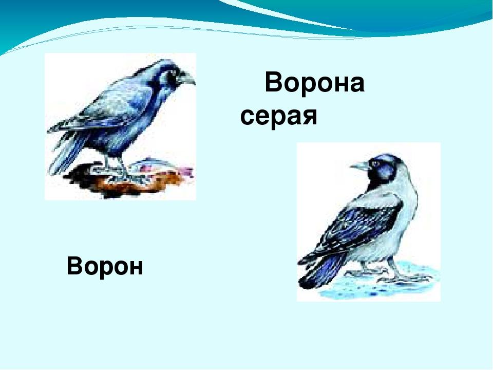 Ворона серая Ворон