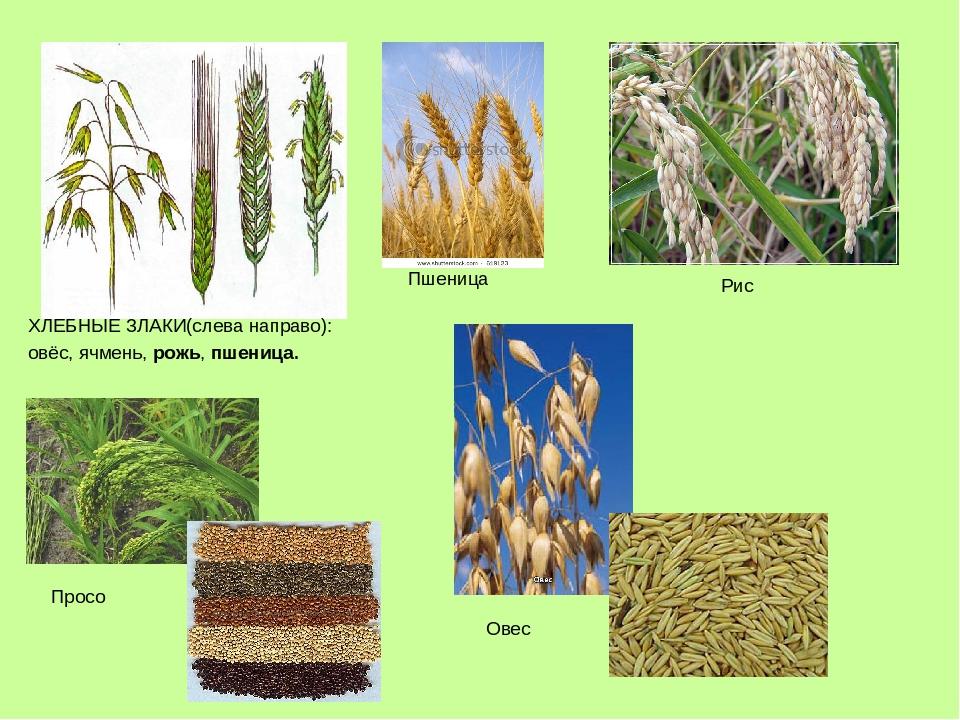 картинки зерновых растений с названиями день рождения подарила