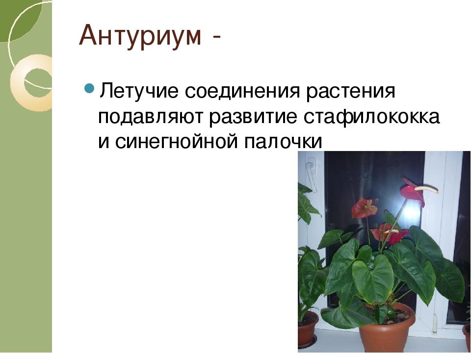Антуриум - Летучие соединения растения подавляют развитие стафилококка и сине...