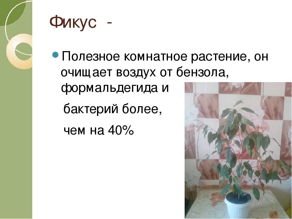 Фикус - Полезное комнатное растение, он очищает воздух от бензола, формальдег...
