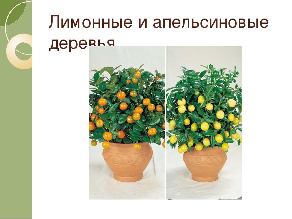 Лимонные и апельсиновые деревья.