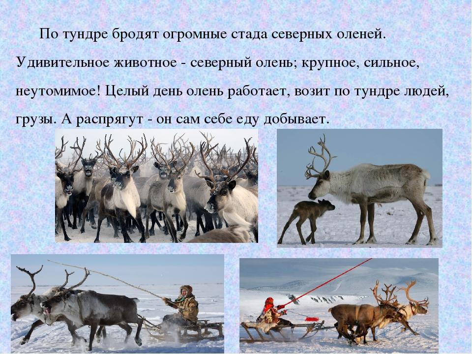 Доклад северный олень по географии 7841