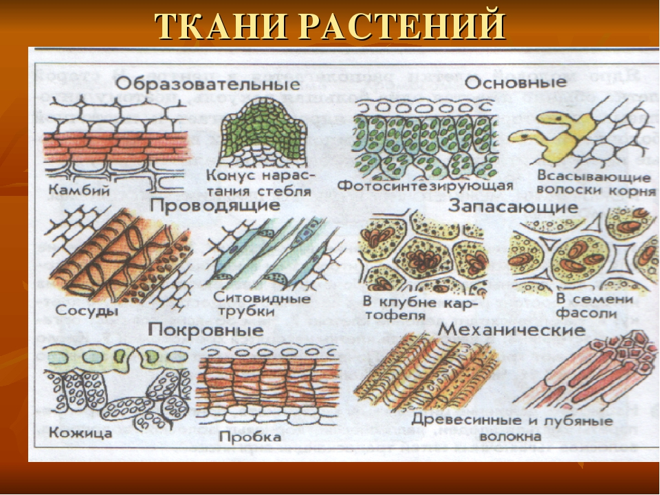 ткани растений и животных рисунок для