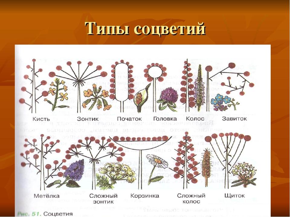 Виды соцветий с картинками