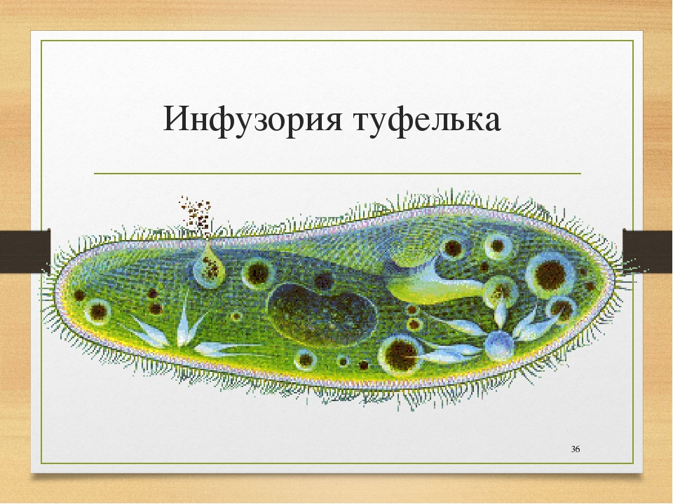Методика выращивания инфузории туфельки
