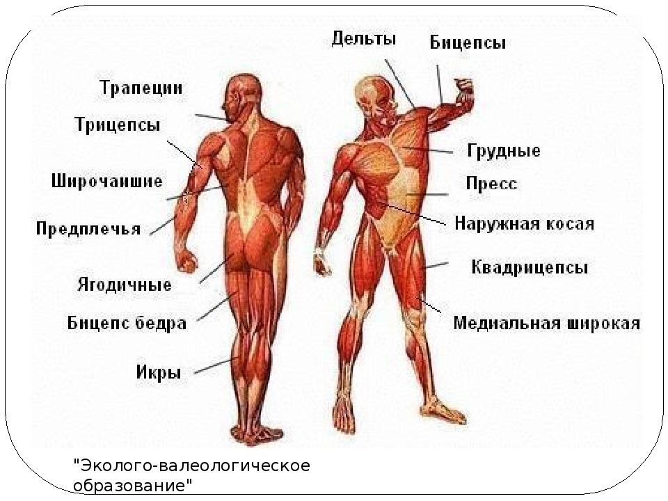 Реферат по физкультуре на тему мышцы человека 291