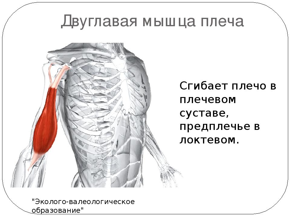 Доклад по физкультуре на тему мышцы человека 5980