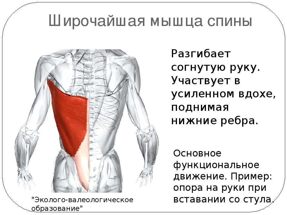 Доклад по физкультуре на тему мышцы человека 9511