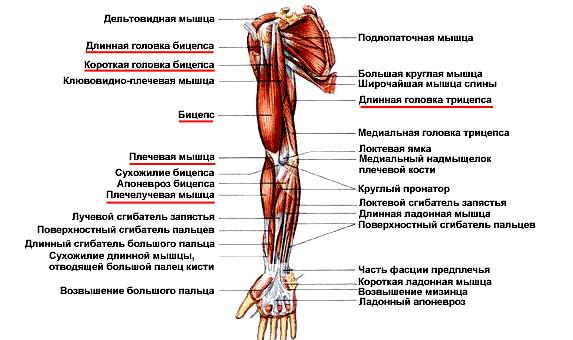 Разработка мышцы кости и суставы 2 класс боли и отеки в коленных суставах