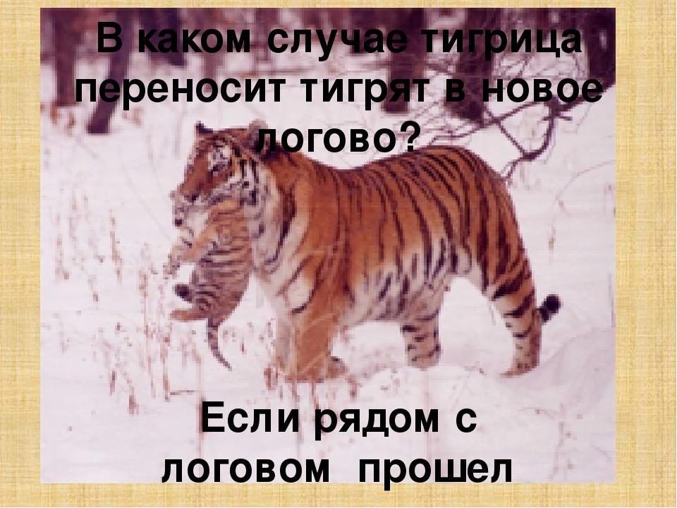амурский тигр стихи делишься всегда своим