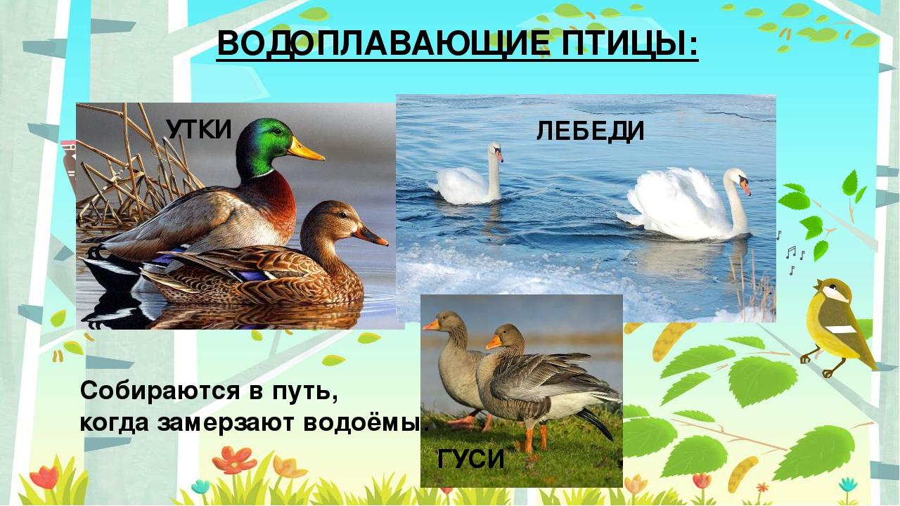Картинки для детей водоплавающие