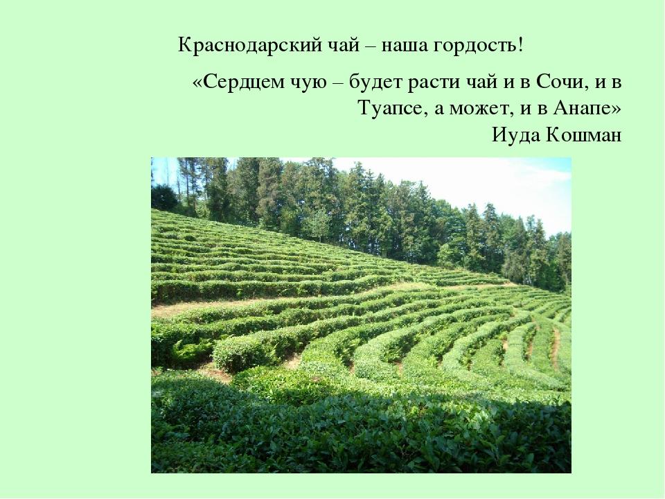 Краснодарский чай – наша гордость! «Сердцем чую – будет расти чай и в Сочи, и...