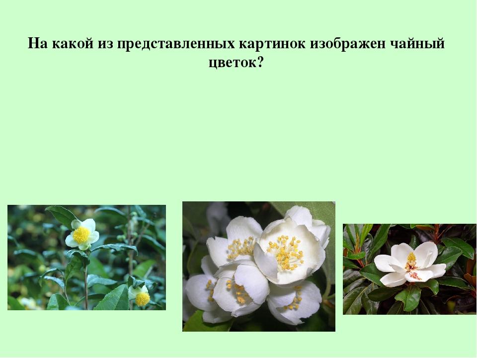На какой из представленных картинок изображен чайный цветок?