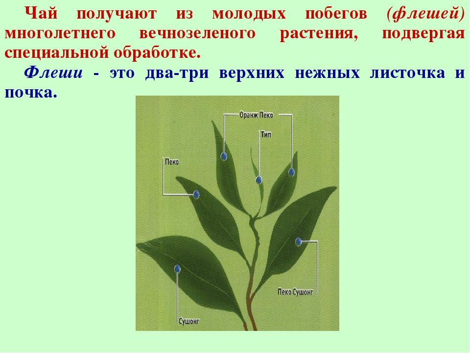 Чай получают из молодых побегов (флешей) многолетнего вечнозеленого растения...