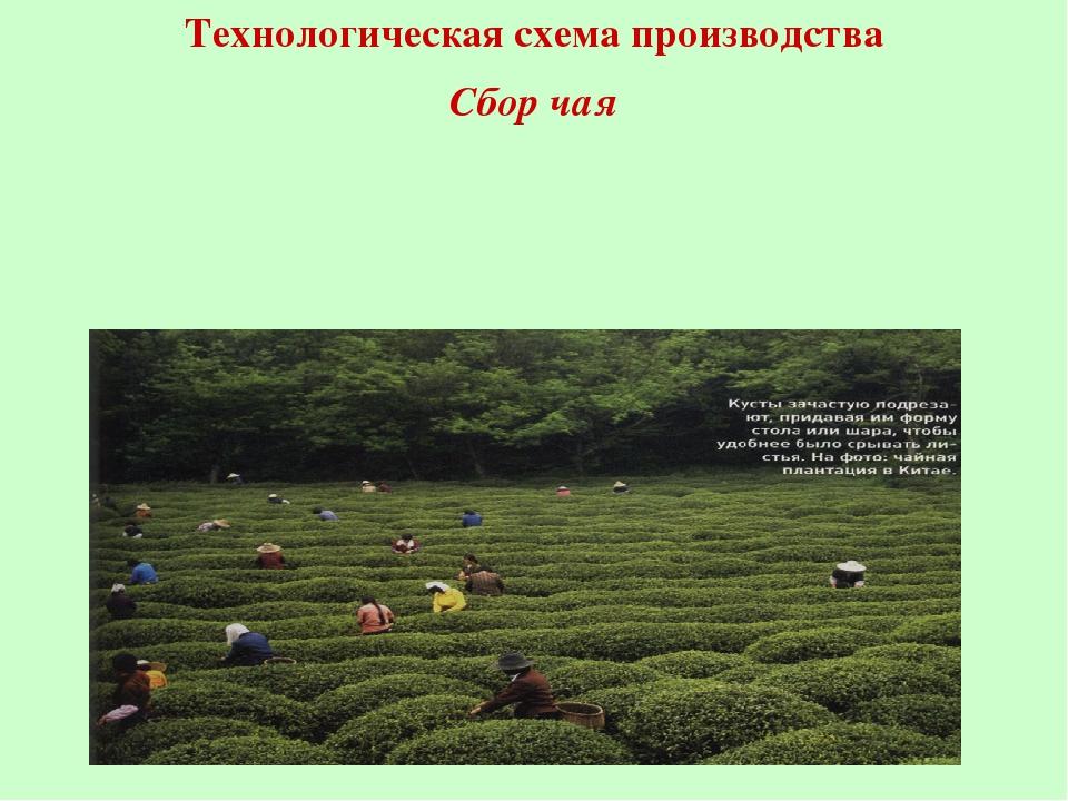 Технологическая схема производства Сбор чая
