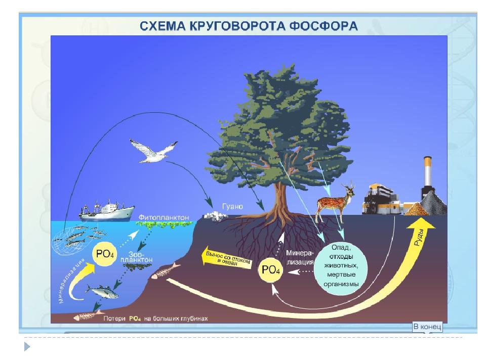 круговорот фосфора в природе фото