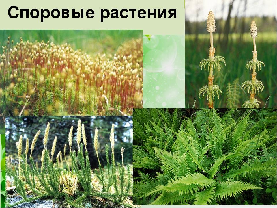 споровые растения примеры растений фото хорошо