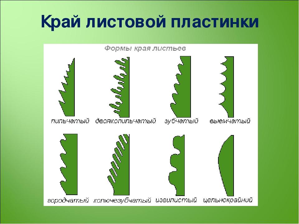 формы края листовой пластинки картинки чем решитесь совершить
