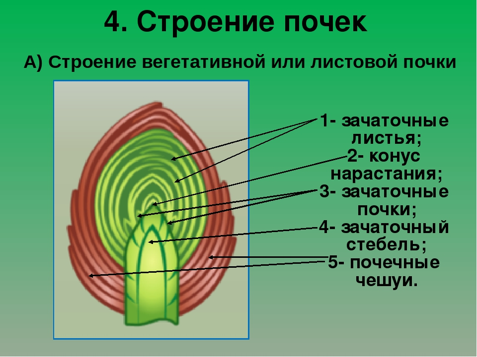 Картинка строение почки растения