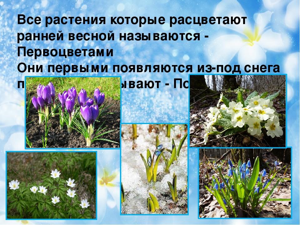 Все растения которые расцветают ранней весной называются - Первоцветами Они п...