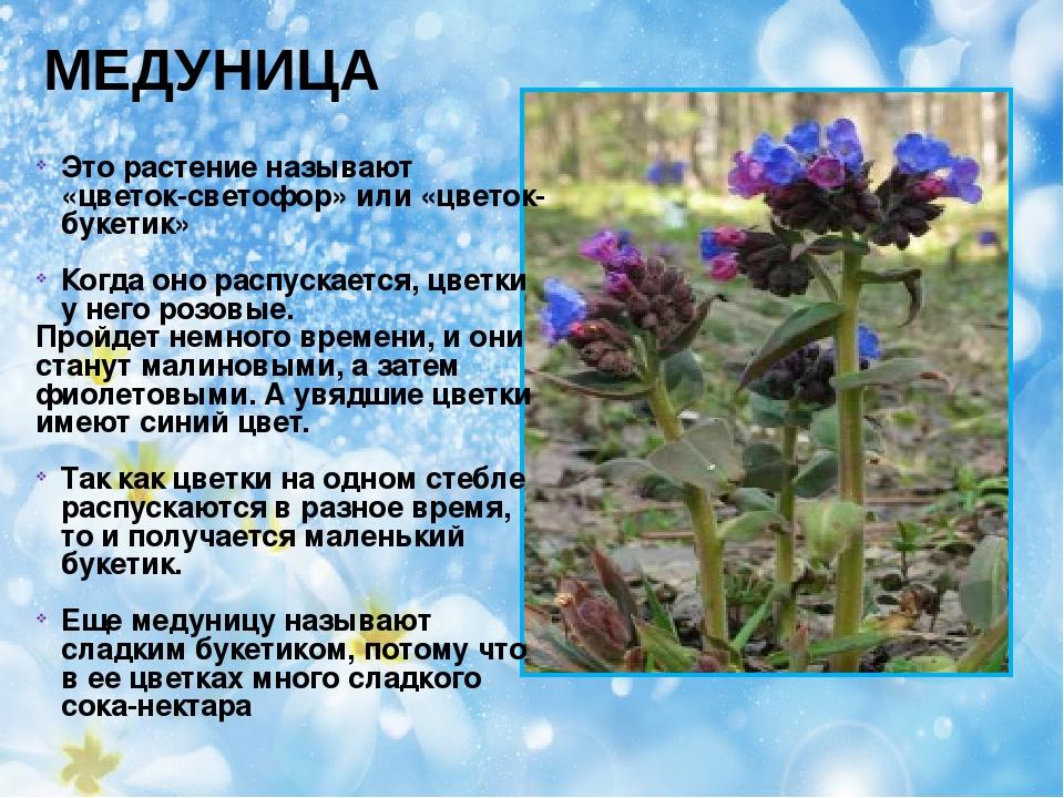 МЕДУНИЦА Это растение называют «цветок-светофор» или «цветок-букетик» Когда о...