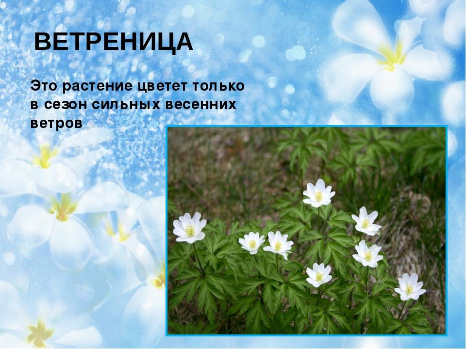 ВЕТРЕНИЦА Это растение цветет только в сезон сильных весенних ветров