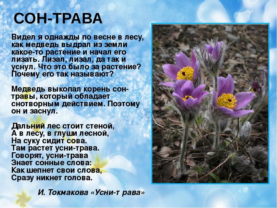 Сон трава фото и описание из красной книги