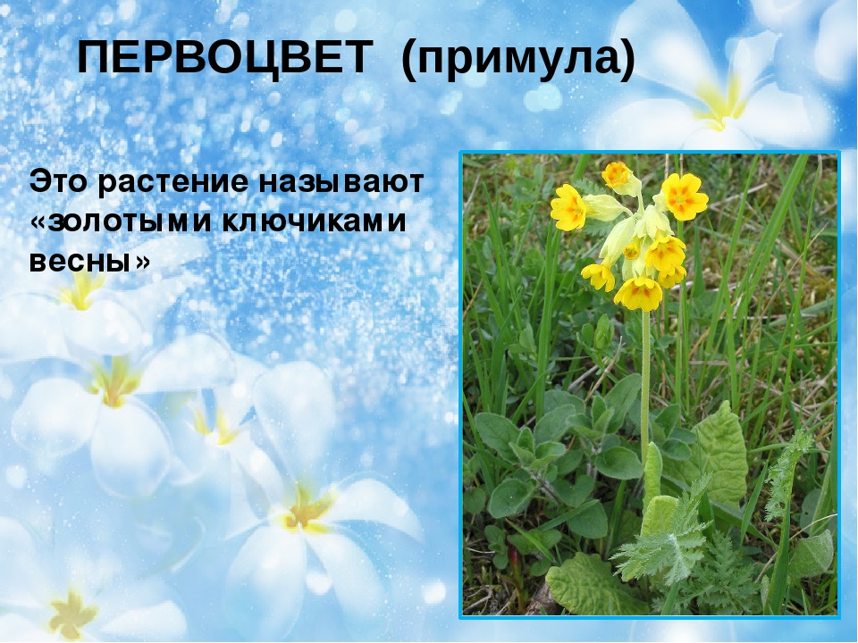 ПЕРВОЦВЕТ (примула) Это растение называют «золотыми ключиками весны»