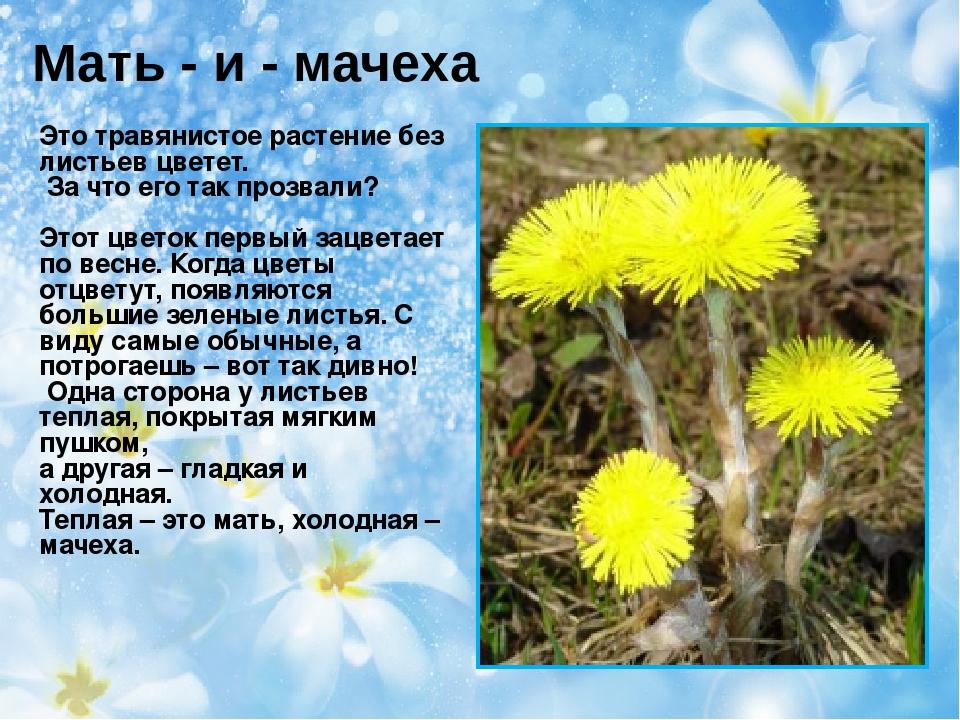 Мать - и - мачеха Это травянистое растение без листьев цветет. За что его так...