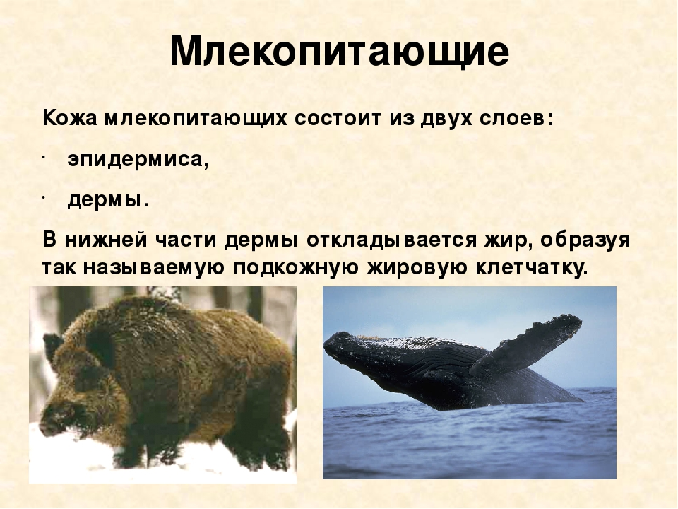 Млекопитающие Кожа млекопитающих состоит из двух слоев: эпидермиса, дермы. В...