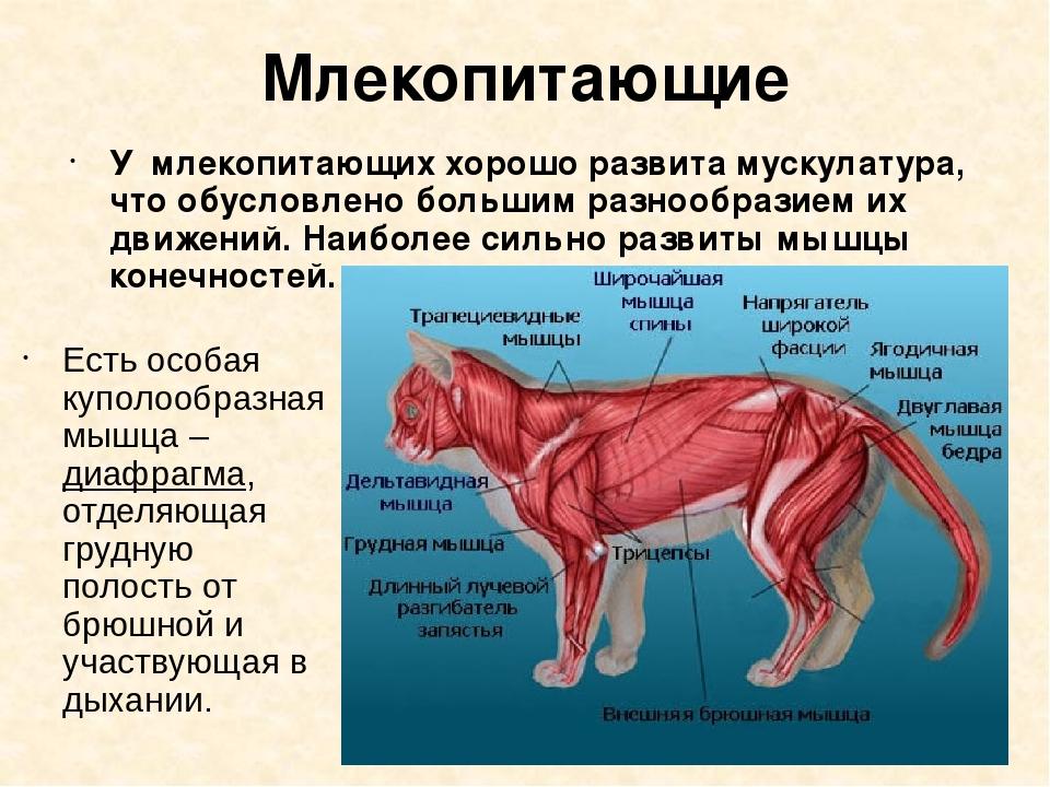 Млекопитающие Есть особая куполообразная мышца – диафрагма, отделяющая грудну...
