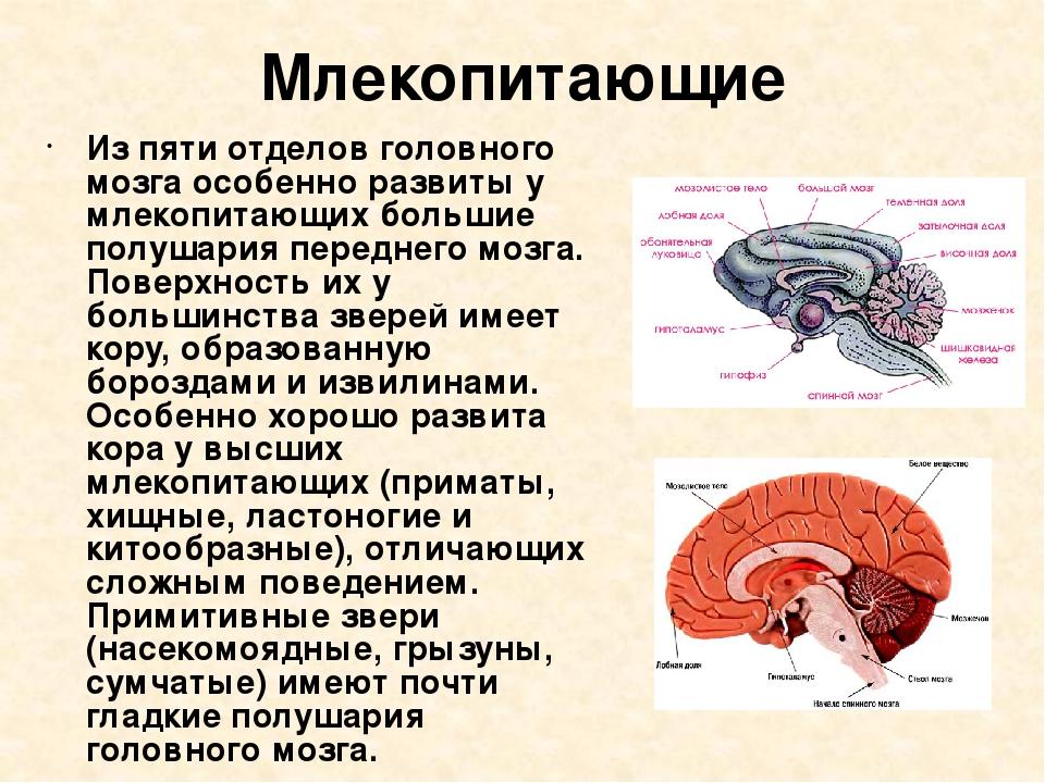 Млекопитающие Из пяти отделов головного мозга особенно развиты у млекопитающи...