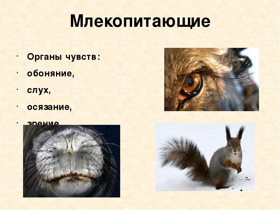 Млекопитающие Органы чувств: обоняние, слух, осязание, зрение.