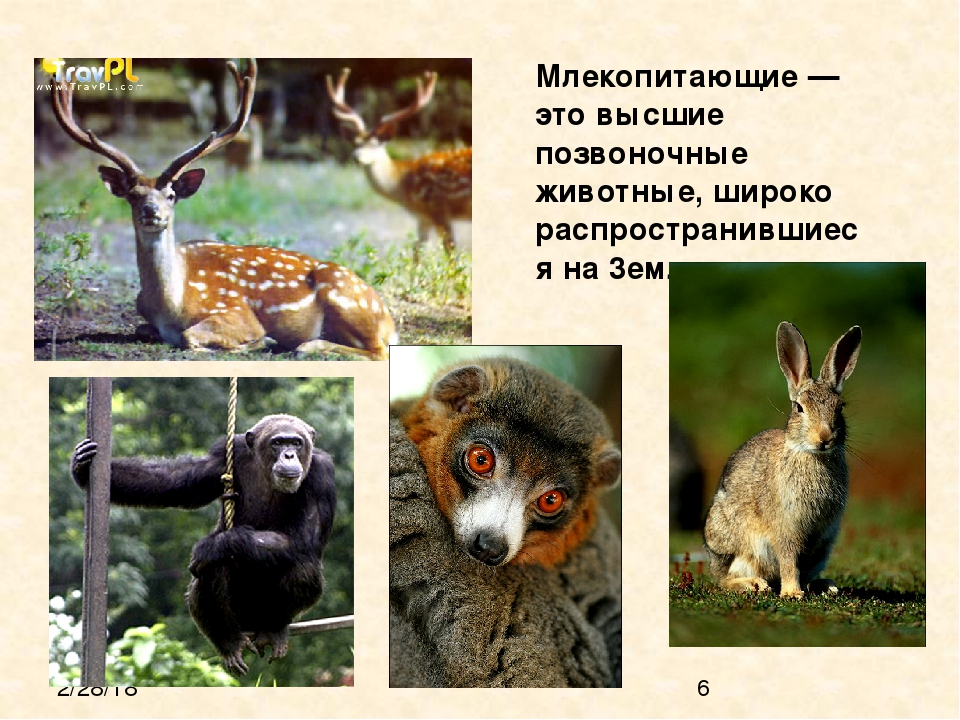 Млекопитающие — это высшие позвоночные животные, широко распространившиеся н...
